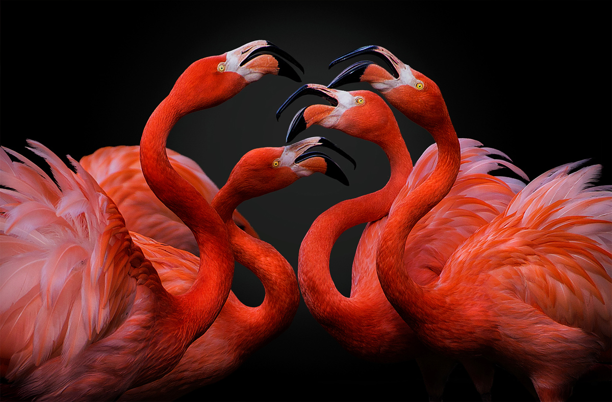 A group of red flamingos arguing. Their noisy encounter accompanies their red bodies as they were ballet dancers with tutus.